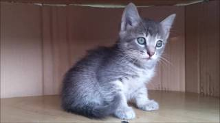 Котенок серый девочка Красноярск