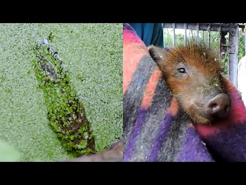 Piglet rescued moments from drowning