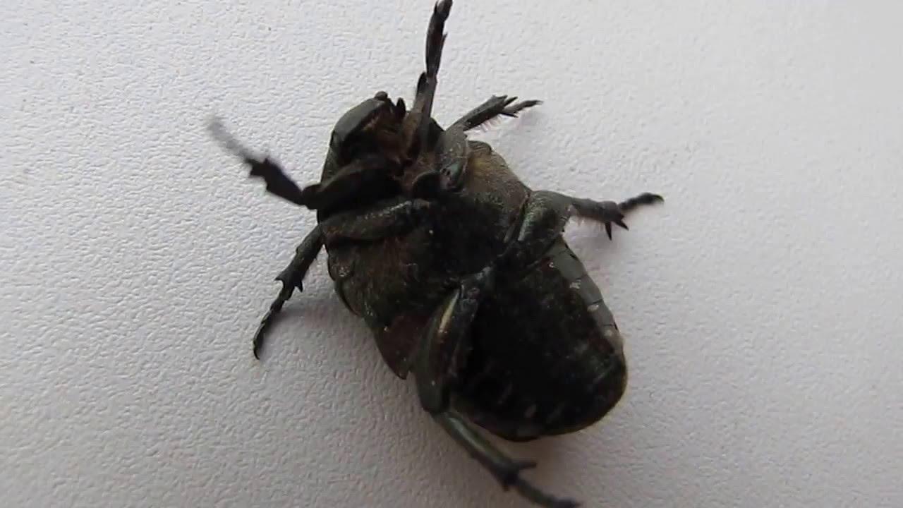 жук июньский жук фото и майский