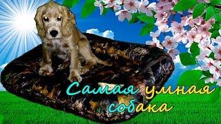 Самая умная собака Английский кокер спаниель Лаки