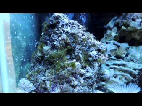 How Quickly Can A Healthy Reef Tank Eliminate Hair Algae?