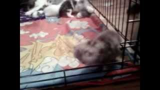 Exotic Persian - 3 Kittens at 3 weeks old