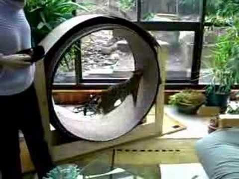 Bengal Cat Exercise Wheel Youtube