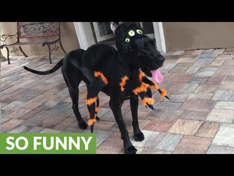 Great Dane shows off her Halloween spider costume