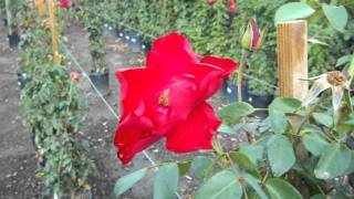 Dublin Bay Climbing Rose.AVI