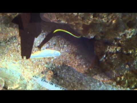 Juvenile (Black) Ribbon Eels (Rhinomuraena Quaesita) Eating Frozen/thawed Silversides