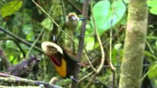 Брачные танцы райских птиц...