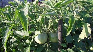 Прищипка помидоров(, 2016-08-05T12:40:57.000Z)
