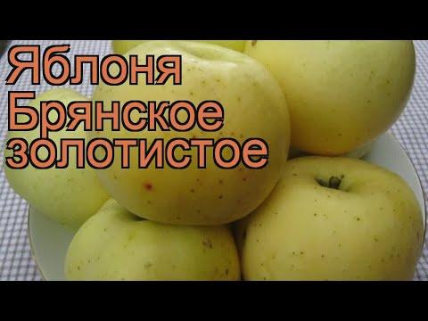 Яблоня золотистая Брянское золотистое 🌿 обзор: как сажать, саженцы яблони Брянское золотистое