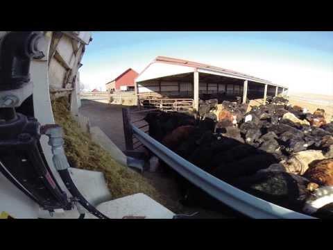 The Farm Experience: Feeding Cattle