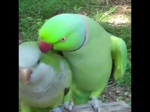 Super funny love birds talking