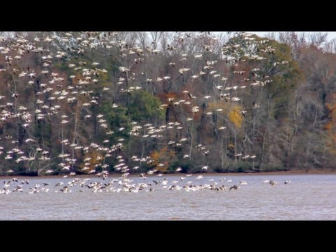 Snow Geese Mega-flock Fly Arounds at Wheeler National Wildlife Refuge - Limestone Bay