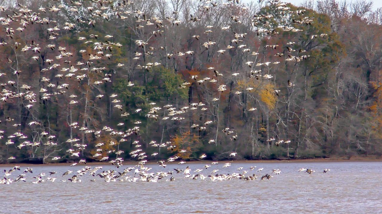 Download Snow Geese Mega-flock Fly Arounds at Wheeler National Wildlife Refuge - Limestone Bay