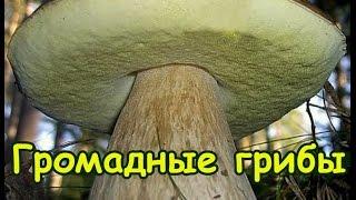 Громадные белые грибы Сбор грибов