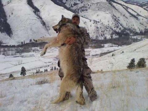 огромный волк фото