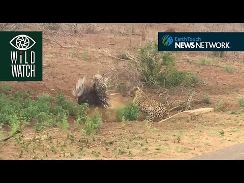 Thumbnail: Porcupine charges hungry leopard