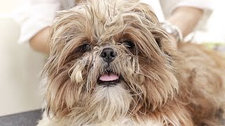abandoned dog shih tzu grooming