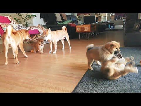 Guddest Vs demonicc potats MLIP / Ep 158 / Shiba Inu puppies