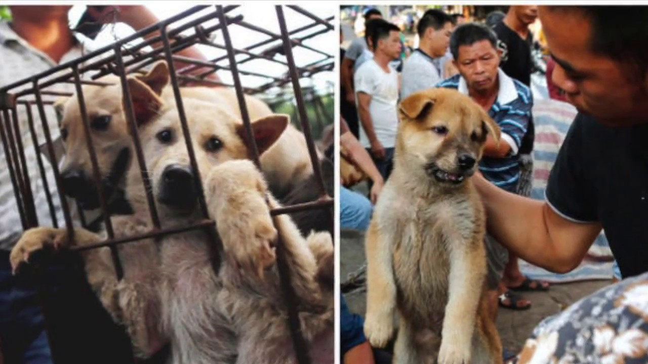 Chinese Rural Dog For Sale