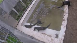 Young otters