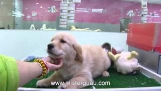 Vendido - Cachorro De Golden Retriever (macho) Www.misterguau.com
