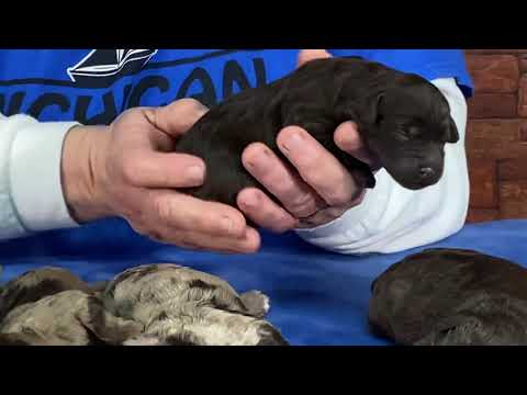 Autumn's Schnoodle puppies  Born 3/25 video shot today 3/30/20