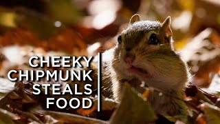 Cheeky chipmunks steal nuts from neighbours to stock for winter