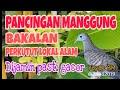 Pancingan Manggung Burung Perkutut Lokal Alam Nggacor Dijamin  Mp3 - Mp4 Download