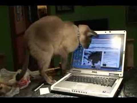 Siamese reacting to youtube cat video