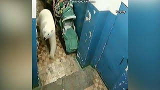 Медвежье нашествие: животные пришли к людям за едой