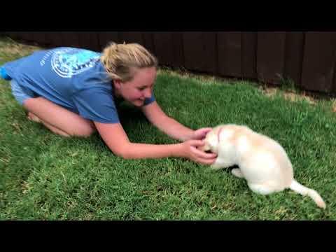 Meghan - FEMALE Lab Puppy Temperament Test