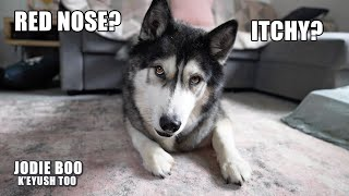 My Husky Talks About How His Allergies Are Doing!