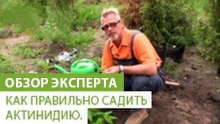 видео Выращивание лимонника китайского: из семян, сорта, лиана, кустарник, условия посадки, полив, подкормка, уход  (75 фото)