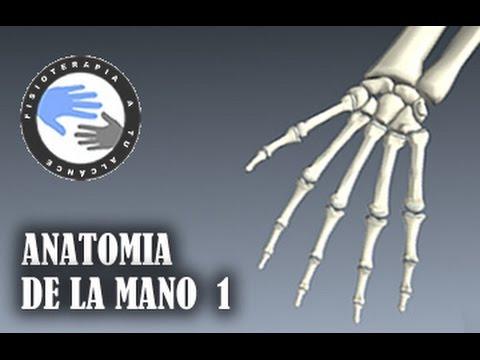 Anatomia y huesos de la mano, fracturas mas frecuentes - YouTube
