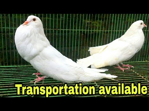 Fancy pigeon and Fancy hens for sale | fancy kabootar and imported fancy  chickens for sale
