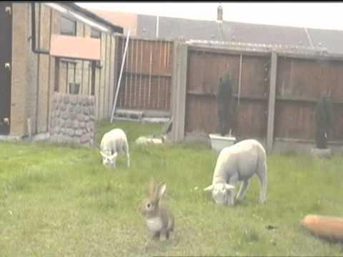 Diamond Day by Vashti Bunyan with sheep video