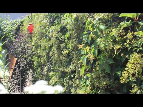 Bees on Virginia Creeper Vine