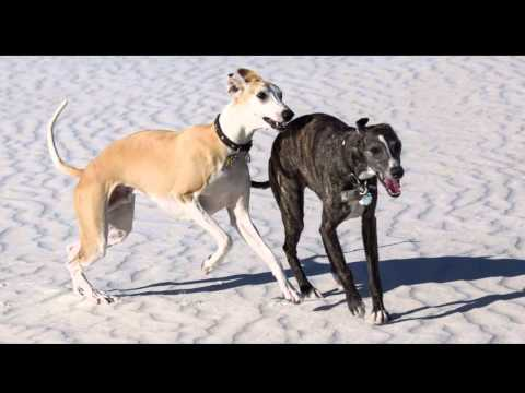 Whippets in White Sands 2014