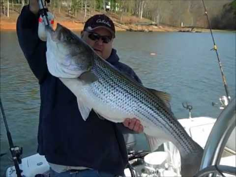 monster striper fishing lake hartwell youtube