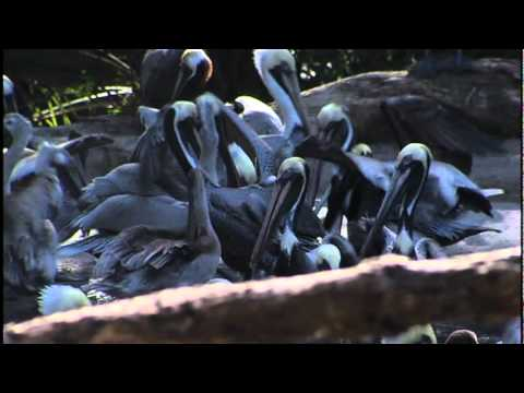 Dead Pelicans PKG