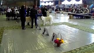 Мартовский пёс 2018. выставка собак Пермь, Ринг ЮРО, всерос.
