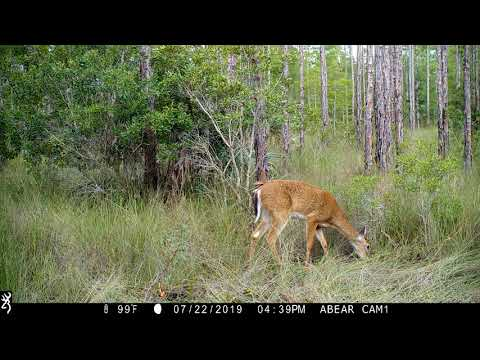 Heavy Deer Activity - Big Cypress July 2019 - Browning Recon Force Advantage