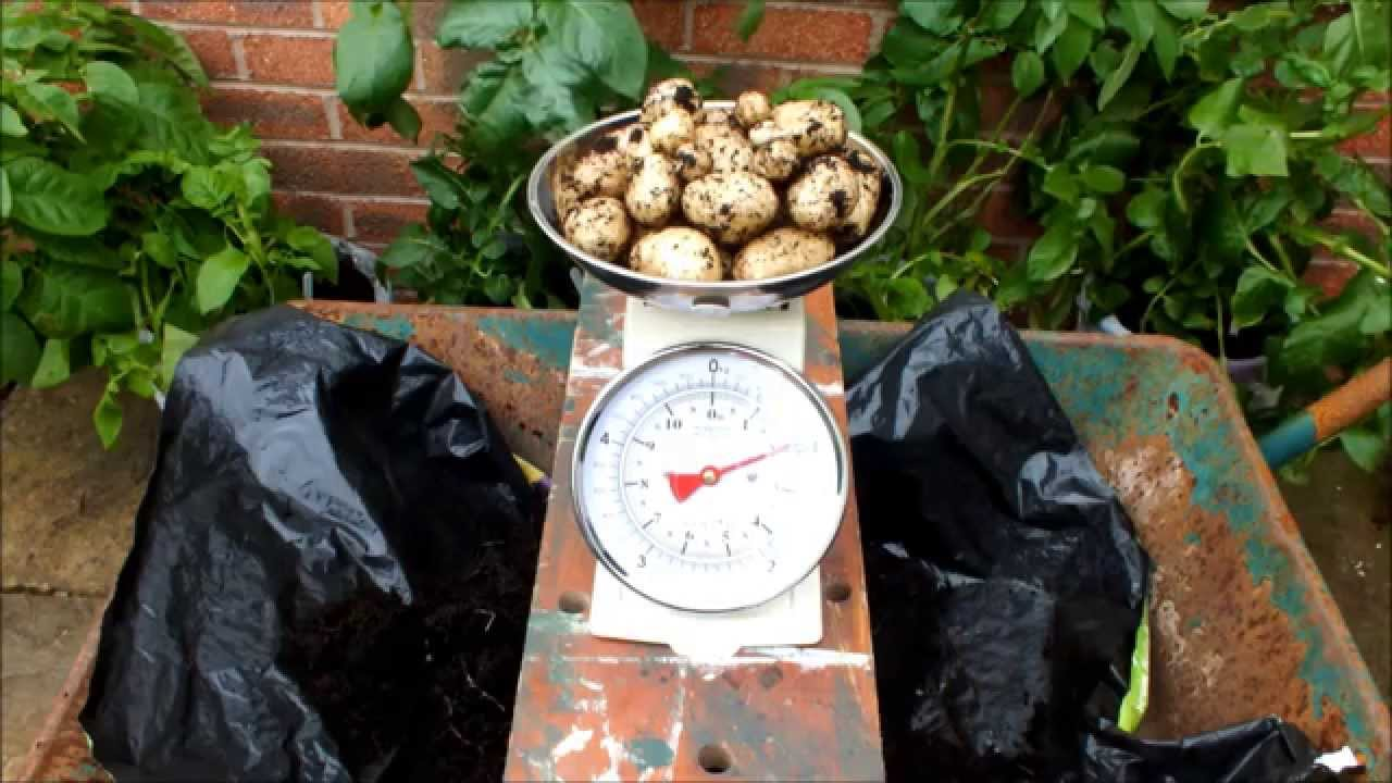 Grow Potatoes In Patio Pots. Its Easy, Its Fun, And Its Rewarding.