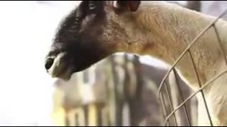 """Goats going """"BAAAAA"""" and shit."""