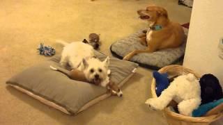Trouble The Westie Subdues Parker The Puppy