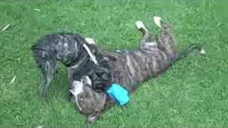 Staffordshire Bull Terriers (dog Park)