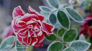 ~★~SECRET GARDEN - Lament For A Frozen Flower(Winter Poem)