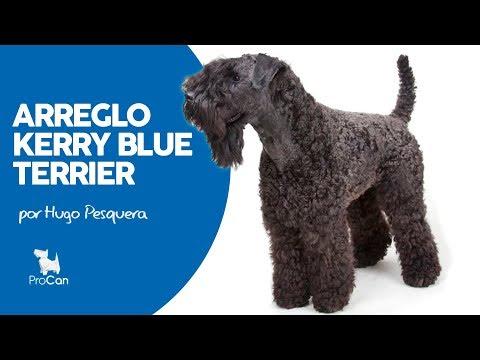 ARREGLO KERRY BLUE TERRIER | HUGO PESQUERA | PROCAN