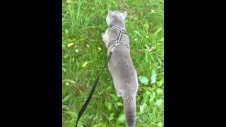 кот на поводке