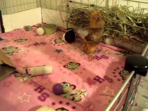 Convince my parents to let me get a guinea pig?
